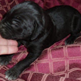 solid black girl @ 2 weeks/available