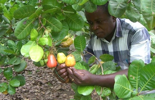 Farmers in 8 districts receive 19,000 cashew seedlings from CNFA