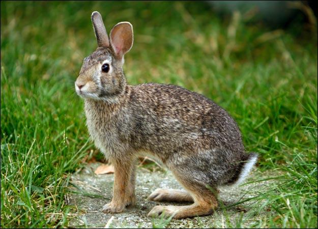 True Wild Life: true-wildlife.blogspot.com/2011/03/rabbit.html