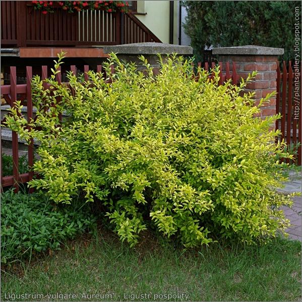 Ligustrum vulgare 'Aureum' - Ligustr pospolity pokrój