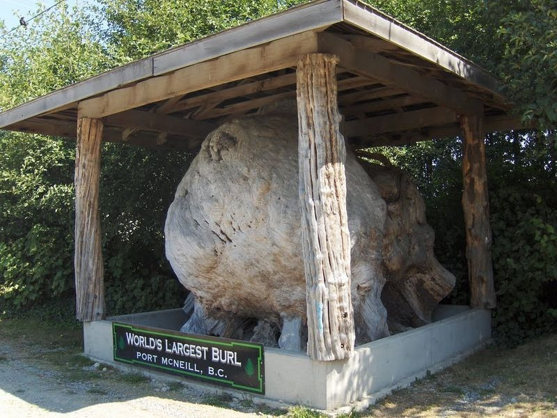 largest-burl-port-mcneill-2