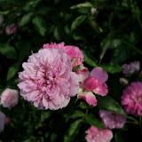 Gardening 2011 - 100_8578.JPG