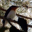 Leaden Flycatcher (Female)