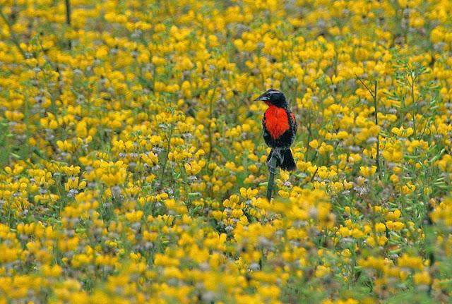 Peruvian Meadowlark, by Javier Colmenares.
