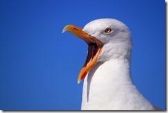 seagull-249638_640