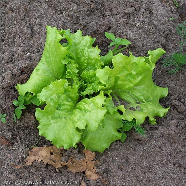 Lactuca sativa - Sałata siewna pokrój młodej rośliny