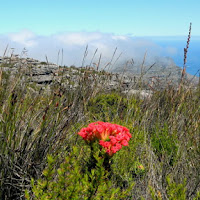 Flower on top of Table Mountain