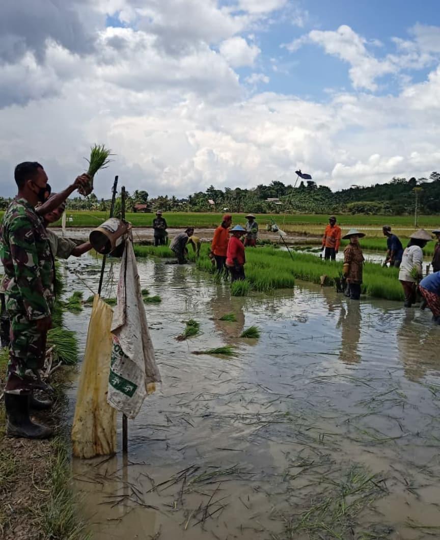 Dampingi Petani, Babinsa Desa Giri Agung Turun ke Sawah
