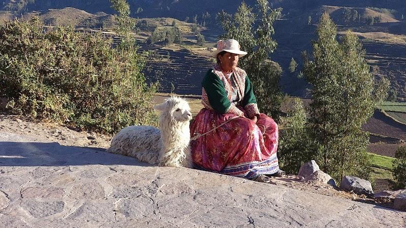 Lamy i alpaki w Peru.JPG