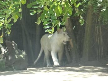 2017.06.17-005 lionne blanche