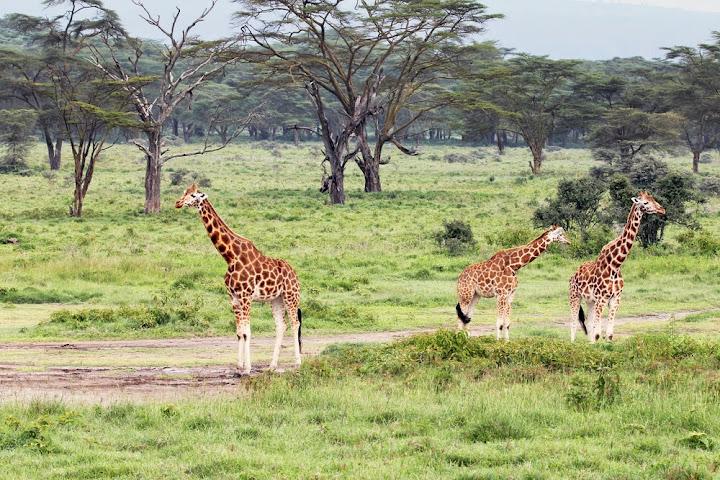 Rothschild Giraffe, Lake Nakuru, Kenya