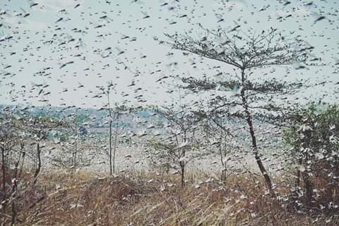Locusts invasion is biblical and islamical, Priests say. PHOTO | BMS