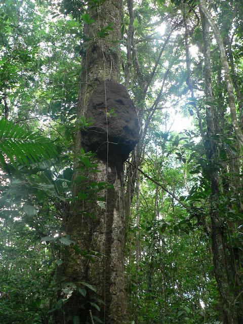 Termitière dans la forêt près d'Ipoussing sur l'Approuague (Guyane). 20 novembre 2011. Photo : P. Fonteyne