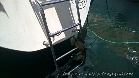 Iguana di Mare - Marina Port La Royale -  Saint Martin