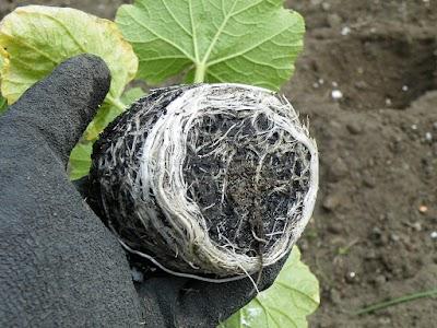 根が回っているカボチャの苗