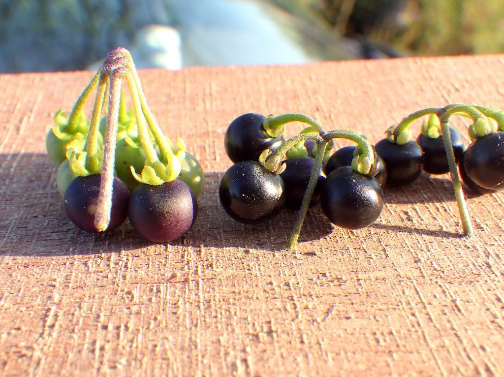 イヌホオズキとテリミノイヌホオズキの果実