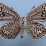 "Alpherakya devanica vanjica ssp. nova. Holotype mâle, verso. Tadjikistan, nord-ouest Badakhshan, chaîne de Vanj, Gishkun gorge, 1800 m, (39° 04′ 590"" N, 70° 48′ 740"" E), 16.VII.2008. Photo : J.-F. Charmeux"