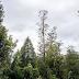 Gigantes da natureza: conheça as mais altas e robustas árvores do mundo