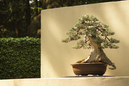 """""""The Pacific Bonsai Museum proudly announces its first acquisition, a Sierra ..."""