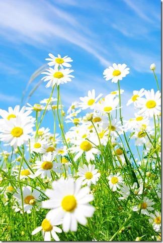 margaritas flores (21)