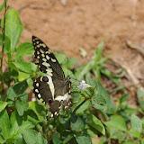 Papilio demodocus demodocus ESPER, 1798, femelle. Mvog Beti, Yaoundé (Cameroun), 6 avril 2012. Photo : J.-M. Gayman