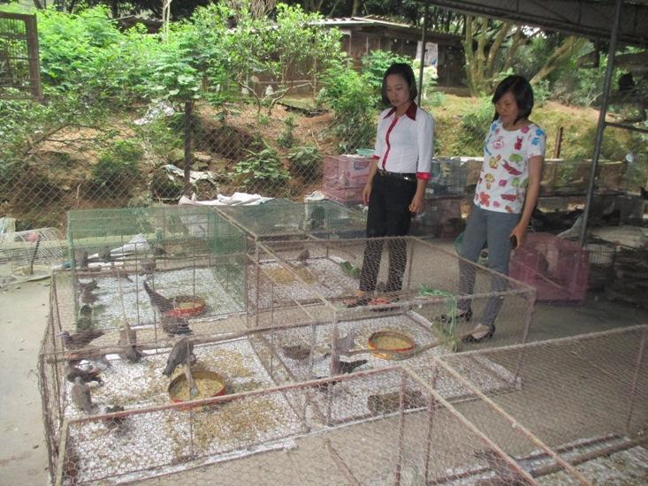 Thái Nguyên: Làm giàu từ mô hình nuôi chim cu gáy - 5733db8f857c1