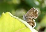 Bronzesommerfugl, marshalli.3.jpg