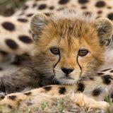 CheetahAcinonyx jubatusMaasai Mara Reserve, Kenya