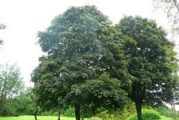 Klon pospolity Acer platanoides Schwedleri
