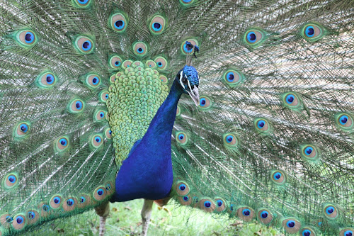 Peacock by Bill Givens - Animals Birds ( fan, peacock, circles, amateur, zoo, colorful,  )