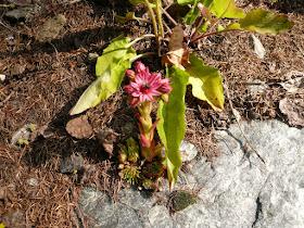 joubarbe, Sempervivum arachnoideum 2.JPG