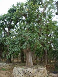 pohon tanaman jamblang