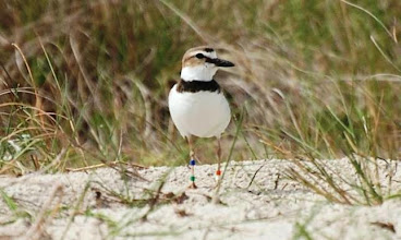 Photo: This banded Wilson' Plover was found and photographed on Bird Shoal by volunteer Stan Rule. The bands are being reported to the proper authority. Wilson's Plovers nest on Bird Shoal in the spring (this one May 2012) -so please be careful where you step and keep your canine friends leashed.