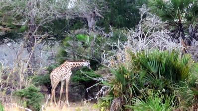 Our first giraffe