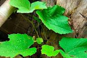 anemia bisa di cegah dengan daun ini.