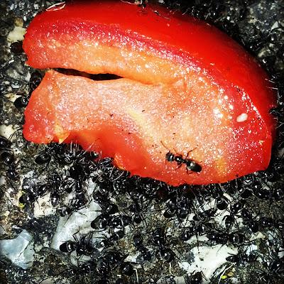 Pomodoro Rosso sotto attacco... di alexax90