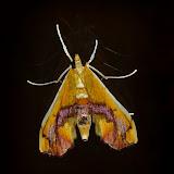 Crambidae : Pyraustinae : Agathodes ostentalis GEYER, 1837. Umina Beach (N. S. W., Australie), 9 janvier 2012. Photo : Barbara Kedzierski