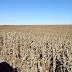 Agro  Milho: seca e geada podem reduzir produtividade em 50% em Alto Taquari (MT)