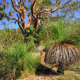 Grass trees (Xanthorrea), they grow very slow, the tallest one could be 300 years old. Bright orange tree : salmon gum/Sydney Red Gum/Angophora costata. On the left : Banksia serrata tree. Environs de Kuring-gai, 5 février 2009. Photo : Barbara Kedzierski