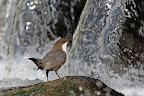 DOUCHE FROIDE   Pour aller nourrir les jeunes derrière la cascade !