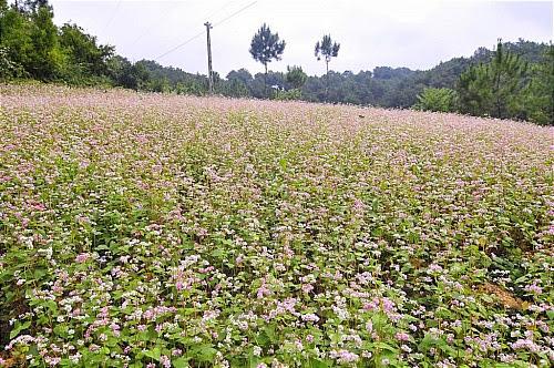 Hoa tam giac mach tai cac dia diem o ha giang3 Hoa tam giác mạch tại một số nơi ở Hà Giang