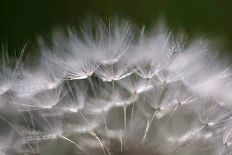 Photo: The top of a dandelion seed head is seen in the morning light in Marysville, Pa., Wednesday, May 13, 2009. (AP Photo/Carolyn Kaster)