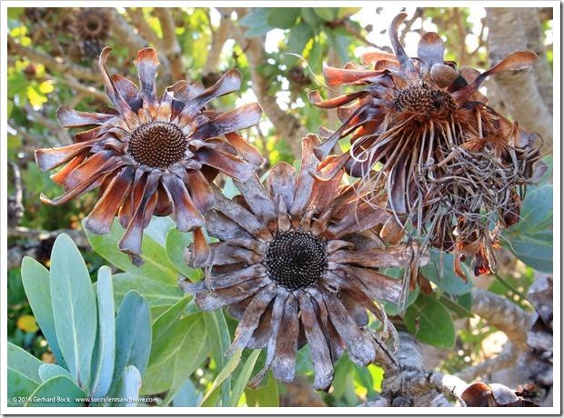 160813_UCSC_Arboretum_Protea-nitida_005