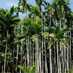 To nie daktylowe, ani kokosowe, to palmy betelowe!