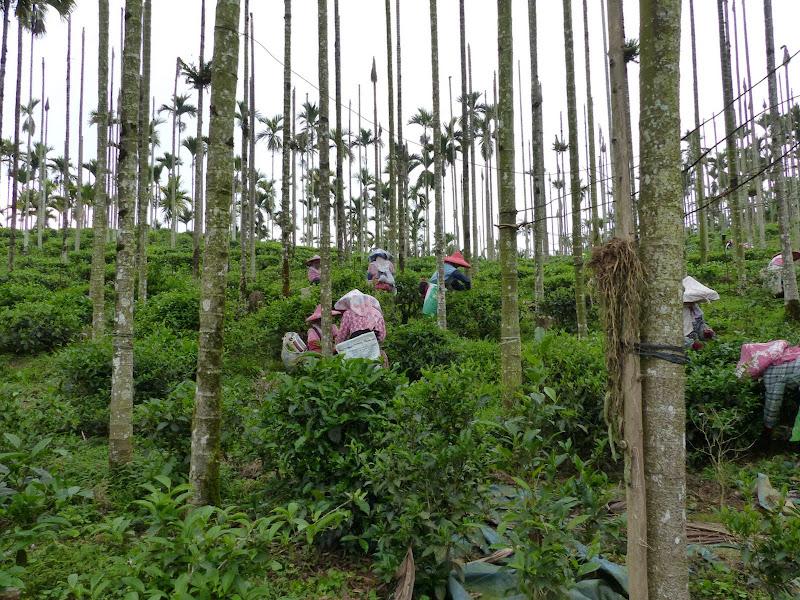 Puli, Nantou county, cueillette de thé - P1050533.JPG