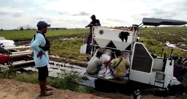 Produksi Padi di Belanti Siam Merugi, Kadistan segera Cek Lokasi