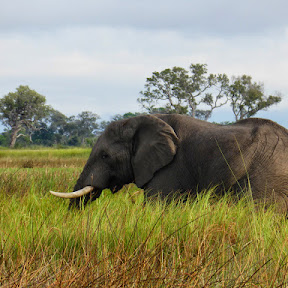 Olifant aan de overkant (Okavango Delta)
