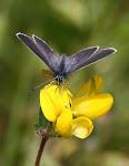 Dværgblåfugl på alm. Kællingetand - Melby overdrev.2.jpg