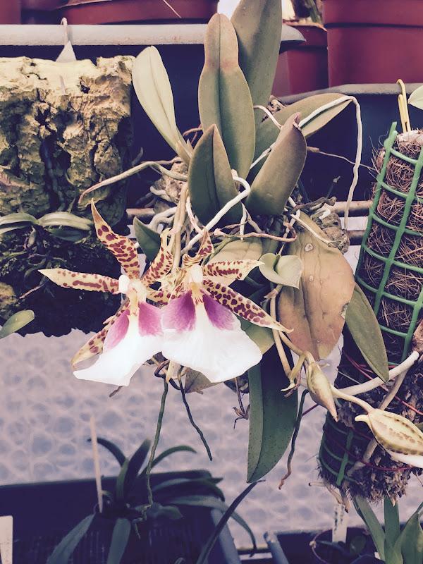 Trichocentrum tigrinum Image