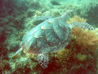 turtle found in Bituon Beach, Guindulman Bohol